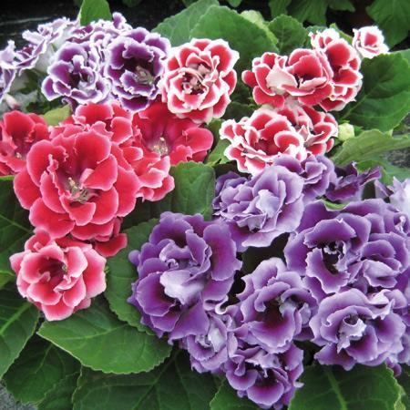 Hạt giống hoa Tử la lan (phú quý) Mix