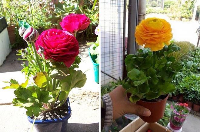 hoa mao lương, hồng ri ba tư, hoàng liên