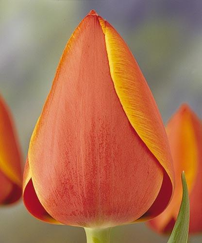Củ giống Tulip cho đơn 100 củ size lớn