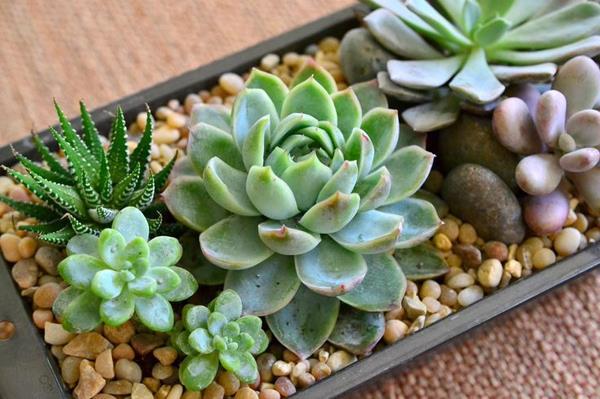 Hướng dẫn trồng sen đá khỏe mạnh