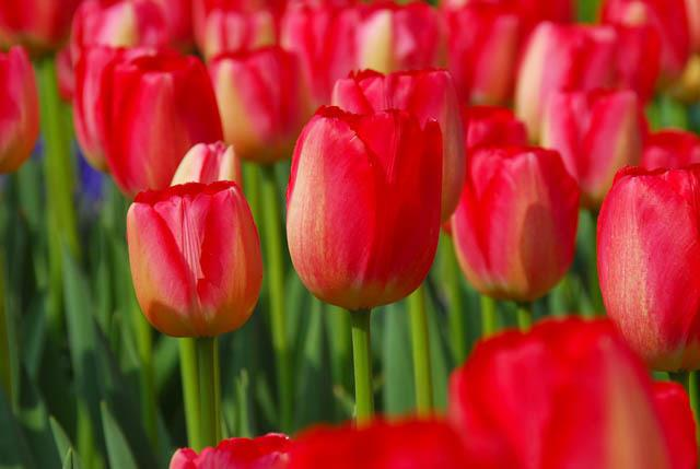 Tulip bao lâu thì nở thoa