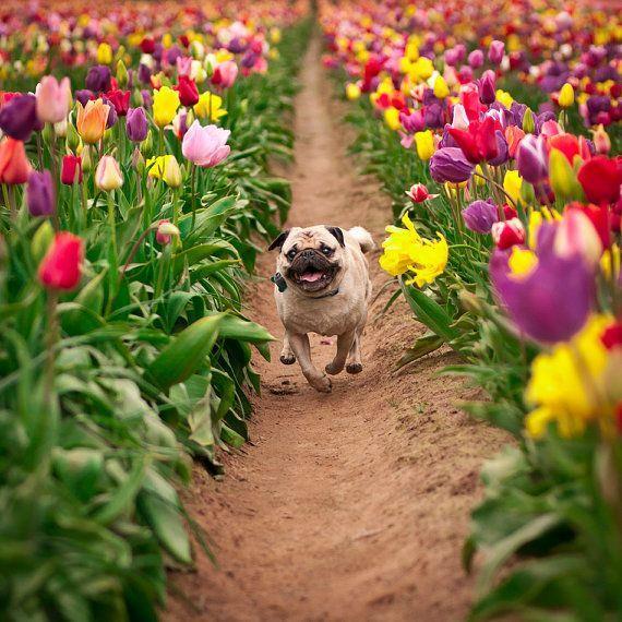 Chia sẻ kinh nghiệm trồng tulip của người sống ở đông bắc Mỹ