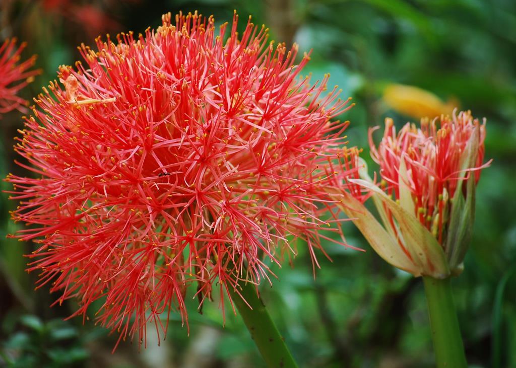 Hồng tú cầu ( scadoxus)