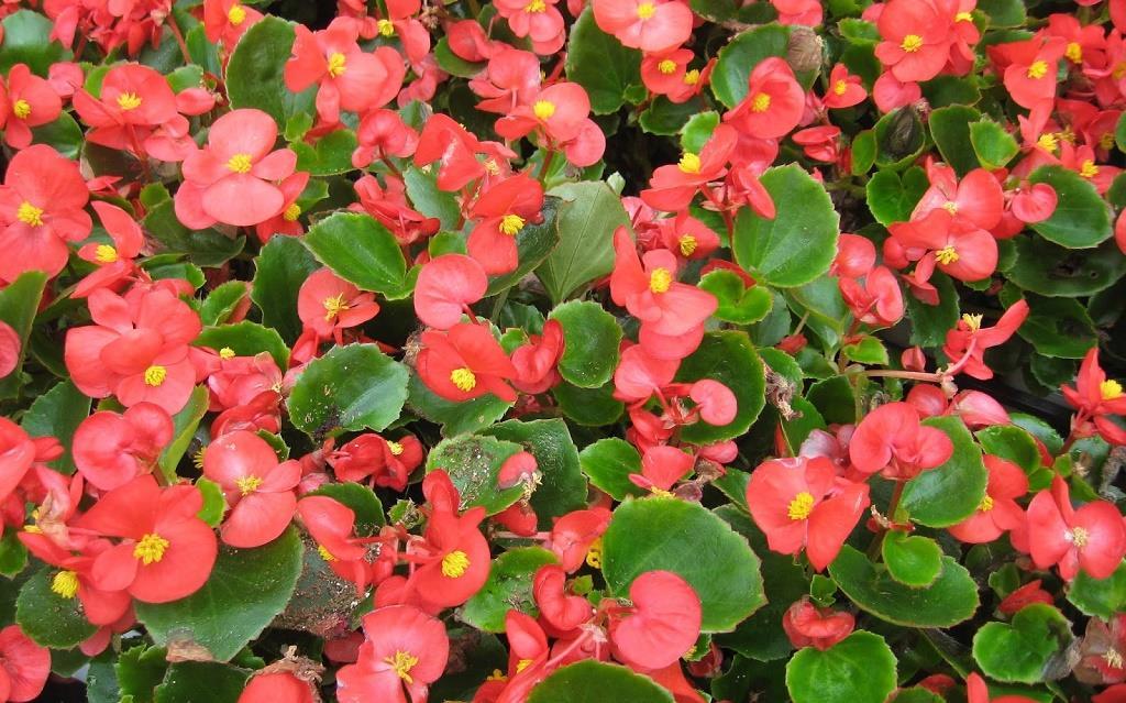 củ Begonia (cây thu hải đường)