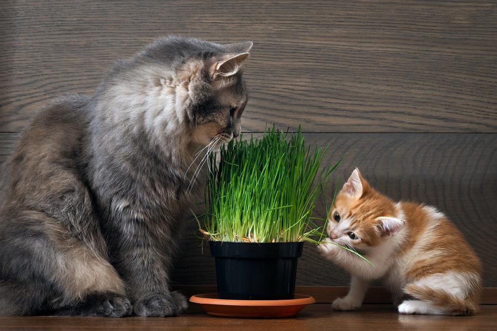 Bạn có biết - Tại sao mèo lại ăn cỏ?
