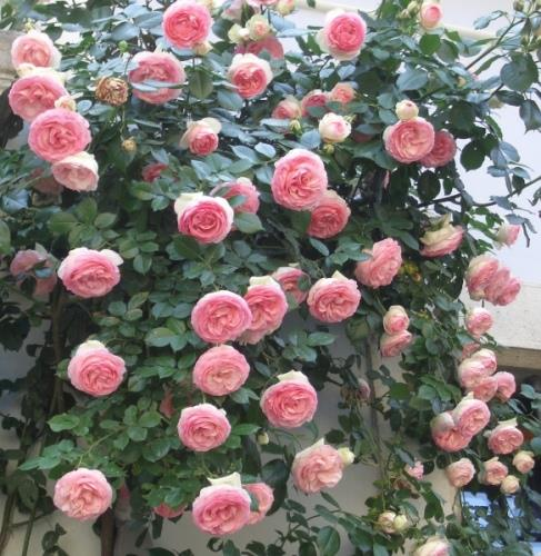 Hạt giống hoa hồng leo hồng( 20 hạt nhập khẩu từ Mỹ)