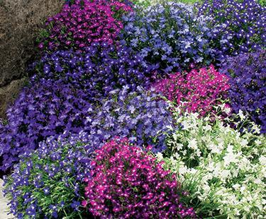 Hạt giống hoa Lobelia